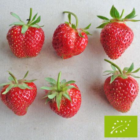 Plant de fraisier Bio Charlotte (godet)