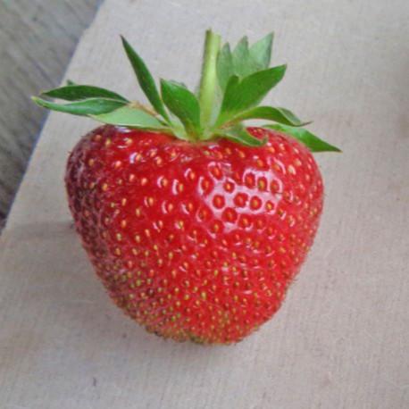 Plant de fraisier Faith (godet)