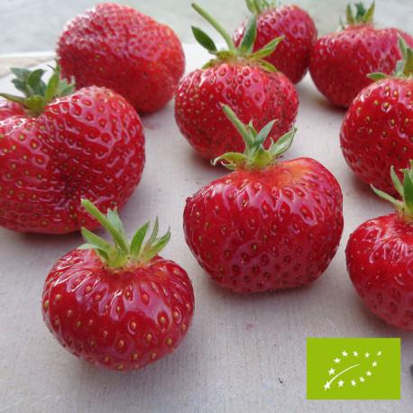 Plant de fraisier Bio Favette (godet)