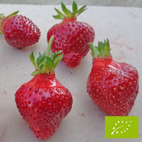 Plant de fraisier Bio Rubis des jardins (godet)