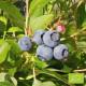 Plant de Myrtillier Northland Bio