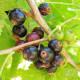 Plant de cassis Bigno Bio