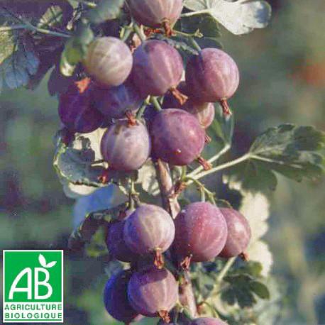 Plant de groseillier Captivator Bio