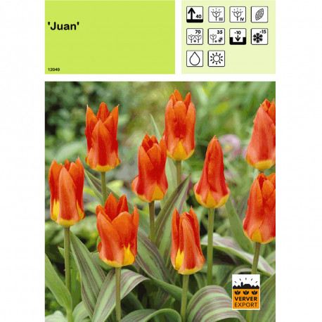 Tulipe Juan