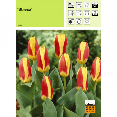 Tulipe Stresa