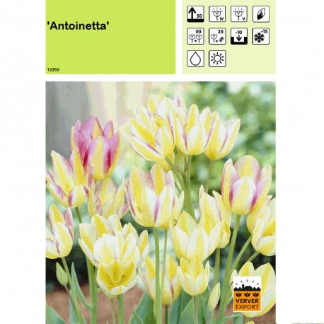 Tulipe Antoinetta