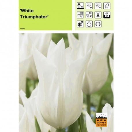 Tulipe White Triumphator