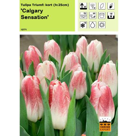 Tulipe Calgary Sensation