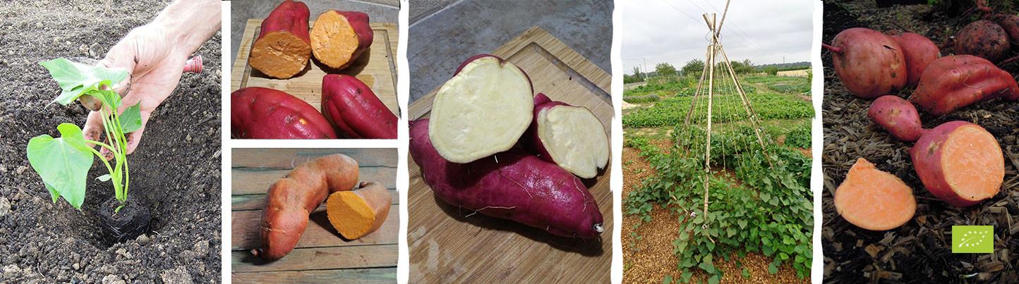 Patates douces à réserver